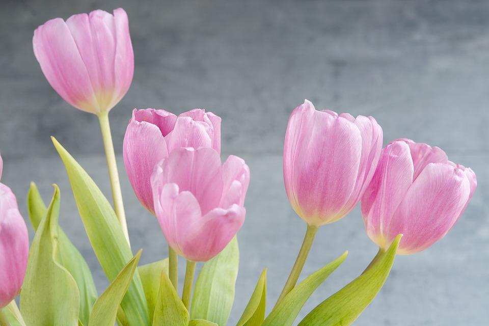 tulips-1352561_960_720
